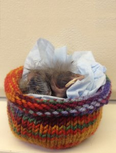 Baby Starling in knitted nest