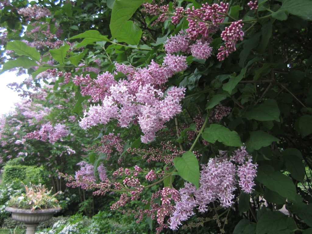 Lilacs in bloom in Regent's park. Photo by WSM