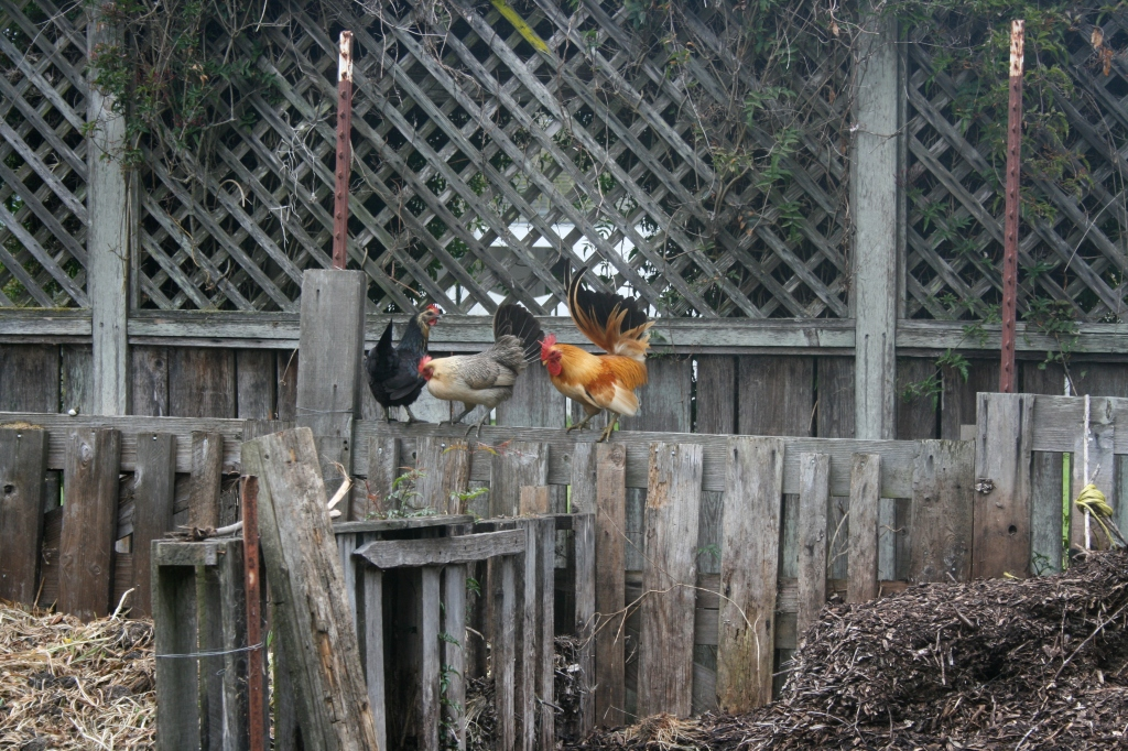 The bantam rooster Little Richard and his two wives in 2009